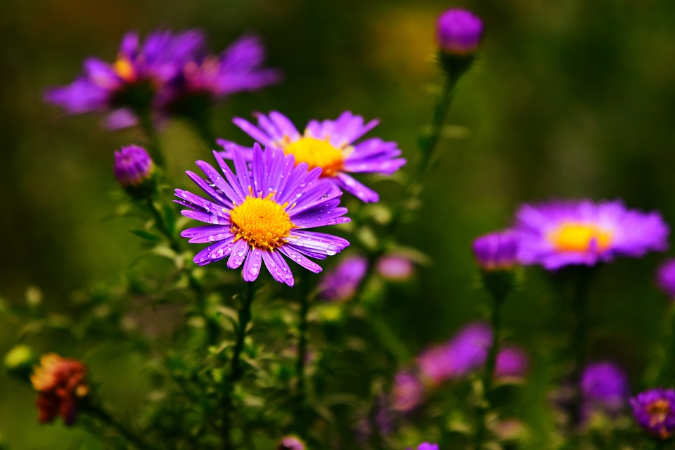 aster-3704588_960_720